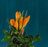 Den orange krokusheuffelianusen blommar, den blom- ordningen, buketten, grön bakgrund, slut upp Royaltyfria Bilder