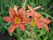 Den orange liliumen slår ut och blommor, orange daglilja Arkivbilder