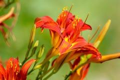 Den orange liljan blommar buskeslut upp härlig kontrast royaltyfria bilder