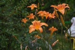 Den orange liljan blommar och slår ut i trädgården Selektivt fokusera Arkivfoton