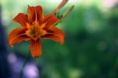 Den orange liljan i staden parkerar Royaltyfria Bilder