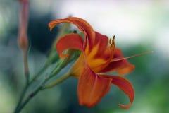 Den orange liljan i staden parkerar Arkivfoto