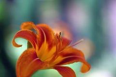 Den orange liljan i staden parkerar Arkivfoton