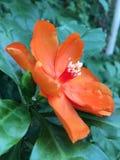 Den orange PereskiableoKunth blomningen som var bekant som Rose Cactaceae eller vaxet, steg Royaltyfria Bilder