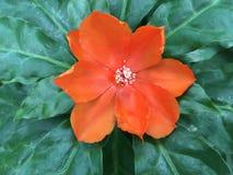 Den orange PereskiableoKunth blomningen som var bekant som Rose Cactaceae eller vaxet, steg Arkivfoton