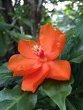 Den orange PereskiableoKunth blomningen som var bekant som Rose Cactaceae eller vaxet, steg Royaltyfri Fotografi