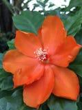 Den orange PereskiableoKunth blomningen som var bekant som Rose Cactaceae eller vaxet, steg Royaltyfri Bild