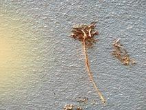 Den orange solstrålen och rotar absolut av betel- eller pipblåsarebetle på väggen Arkivfoto