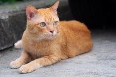 Den orange strimmig kattkatten royaltyfri foto