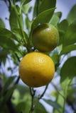 Den orange treen Arkivbild