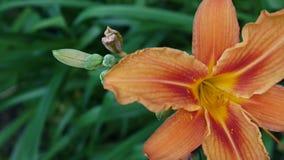 Den orange växtLiliumbulbiferumen specificerar längd i fot räknat för närbilden HD - örtartad video för blomma för tigerlilja lager videofilmer