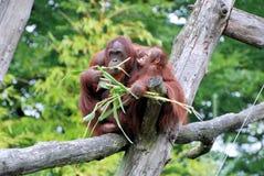 Den orangutangUtan modern med behandla som ett barn Royaltyfria Bilder