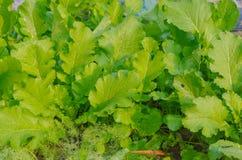 Den organiska grönsaken arkivfoton