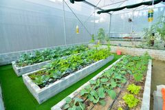 Den organiska grönsaken använder droppbevattningsystemet Arkivfoton