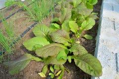 Den organiska grönsakträdgården använder droppbevattningsystemet Royaltyfria Foton