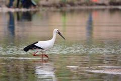 Den orientaliska vita storken arkivfoto