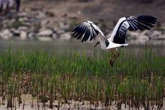 Den orientaliska vita storken Fotografering för Bildbyråer