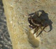 Den osynliga krabban är ett fantastiskt prov Dess unikhet är att det är nästan omöjligt att finna bland alger Luta och långbent C royaltyfria bilder