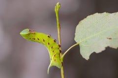 Den ovanliga tjocka larven av sphingidaen beautifully Arkivfoto
