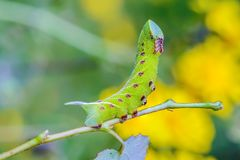 Den ovanliga tjocka larven av sphingidaen beautifully Royaltyfri Foto