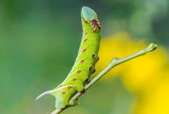 Den ovanliga tjocka larven av sphingidaen beautifully Royaltyfria Bilder