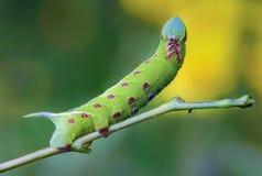 Den ovanliga tjocka larven av sphingidaen beautifully Royaltyfri Bild