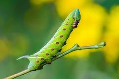 Den ovanliga tjocka larven av sphingidaen beautifully Royaltyfria Foton
