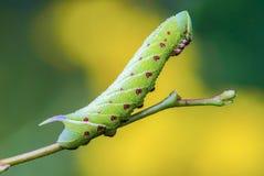 Den ovanliga tjocka larven av sphingidaen beautifully Arkivfoton