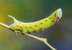 Den ovanliga tjocka larven av sphingidaen beautifully Arkivbilder
