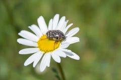 Den Oxythyrea funestaen på kamomillen, utskjutande blommachafer för vår på blomman äter pollen royaltyfri bild