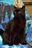 Den päls- svarta katten med apelsinen synar på en blått royaltyfria bilder