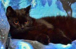 Den päls- svarta katten med apelsinen synar på en blått arkivfoton