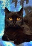 Den päls- svarta katten med apelsinen synar på en blått royaltyfria foton