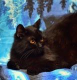 Den päls- svarta katten med apelsinen synar på en blått arkivbild