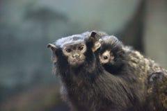 Den på bar gärning mamman för tamarinSaguinus midas och behandla som ett barn arkivfoton