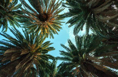 den Palmen oben betrachten Stockfotografie