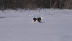 Den Papillon hunden gör modigt hans väg till och med den insnöade vintern att parkera videoen för ultrarapidmateriellängd i fot r arkivfilmer