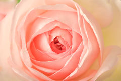den pastellfärgade pinken steg Fotografering för Bildbyråer