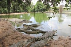 Den Pattaya krokodillantgården inget, dagen, grupp, piskar stort, brunt, croc, närbilden, dagsljus arkivfoton