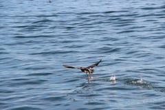 Den pelagiska kormoranPhalacrocoraxpelagicusen, också som är bekant som Bairds kormoran, tar av från vattnet royaltyfri foto