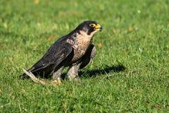 Den peregrine falken, Falco peregrinus De snabbaste djuren i v?rlden royaltyfria foton