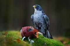 Den Peregrine falken med den fångade fasanen som matar på dödad stor fågel på det gröna mossigt, vaggar med den mörka skogen i ba royaltyfria bilder