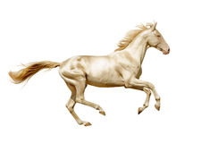 Den Perlino Akhal-teke hästen kör fritt isolerat på vit Arkivfoto