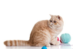 Den persiska exotiska katten som isoleras med bollar av den olika vykortet, färgar Royaltyfri Fotografi