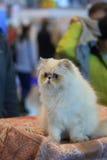 Den persiska kattungen Royaltyfria Foton