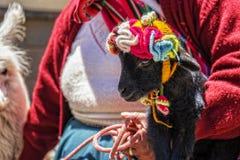 Den Peru kvinnan behandla som ett barn alpaca Royaltyfri Foto