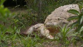 Den petade Orinoco krokodilen hoppar för en tugga, Colombia arkivfilmer