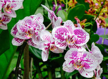 Den PhalaenopsisBlume orkidén blommar på botaniska trädgården i Singapore Royaltyfria Foton