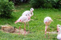 Den Phoenicoparrus för flamingo för James ` s jamesien eller fåglar för den Puna flamingo Royaltyfri Fotografi