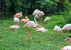 Den Phoenicoparrus för flamingo för James ` s jamesien eller fåglar för den Puna flamingo Royaltyfria Bilder